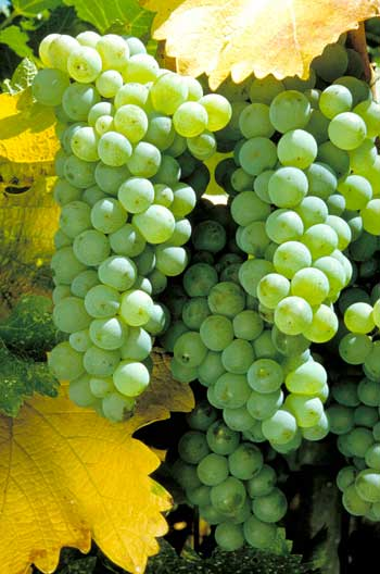 sauvignon_blanc_white_grape_variety