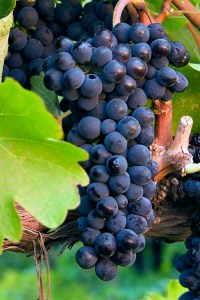 Syrah Grape Fred Miranda